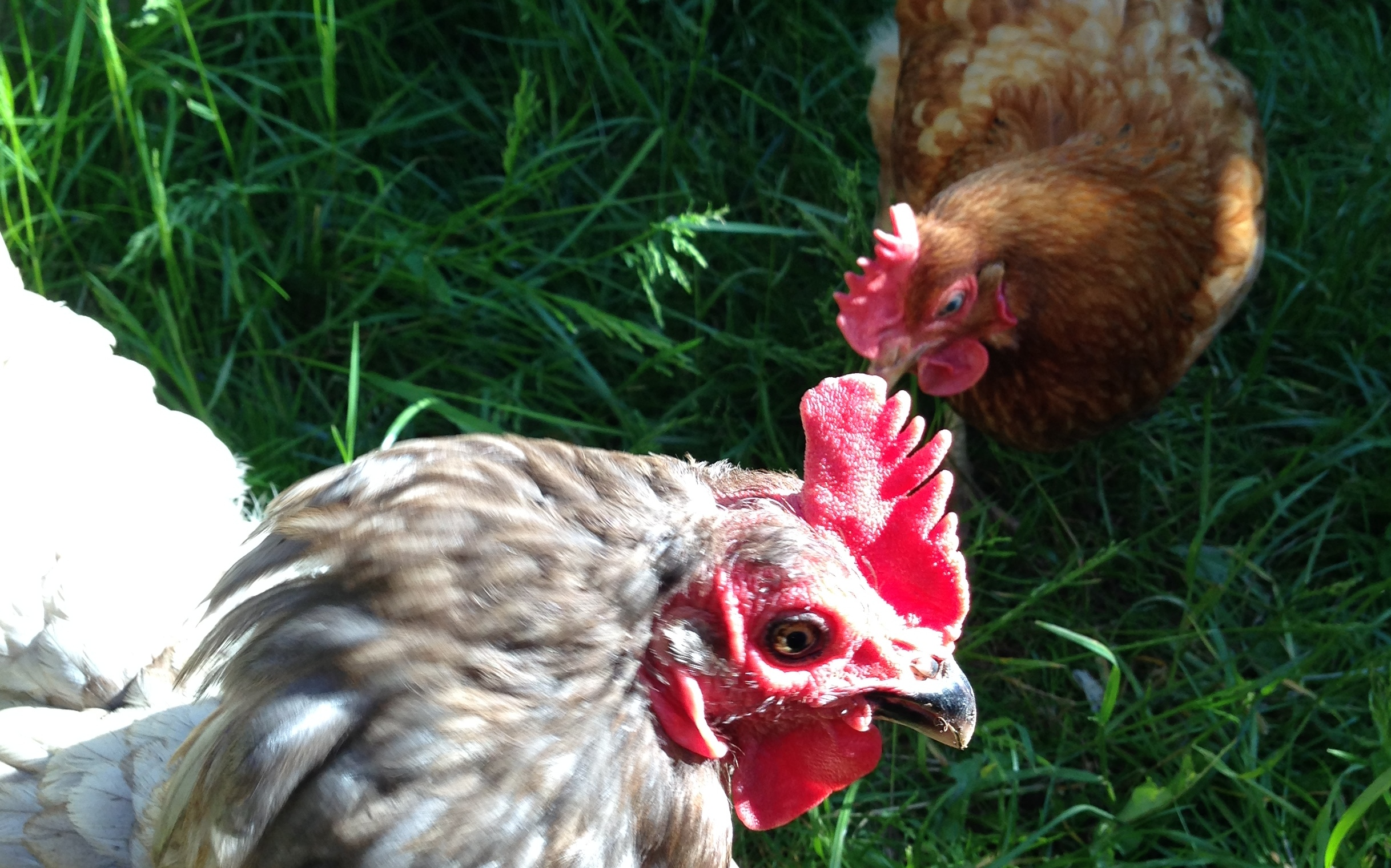 A day with the chickens