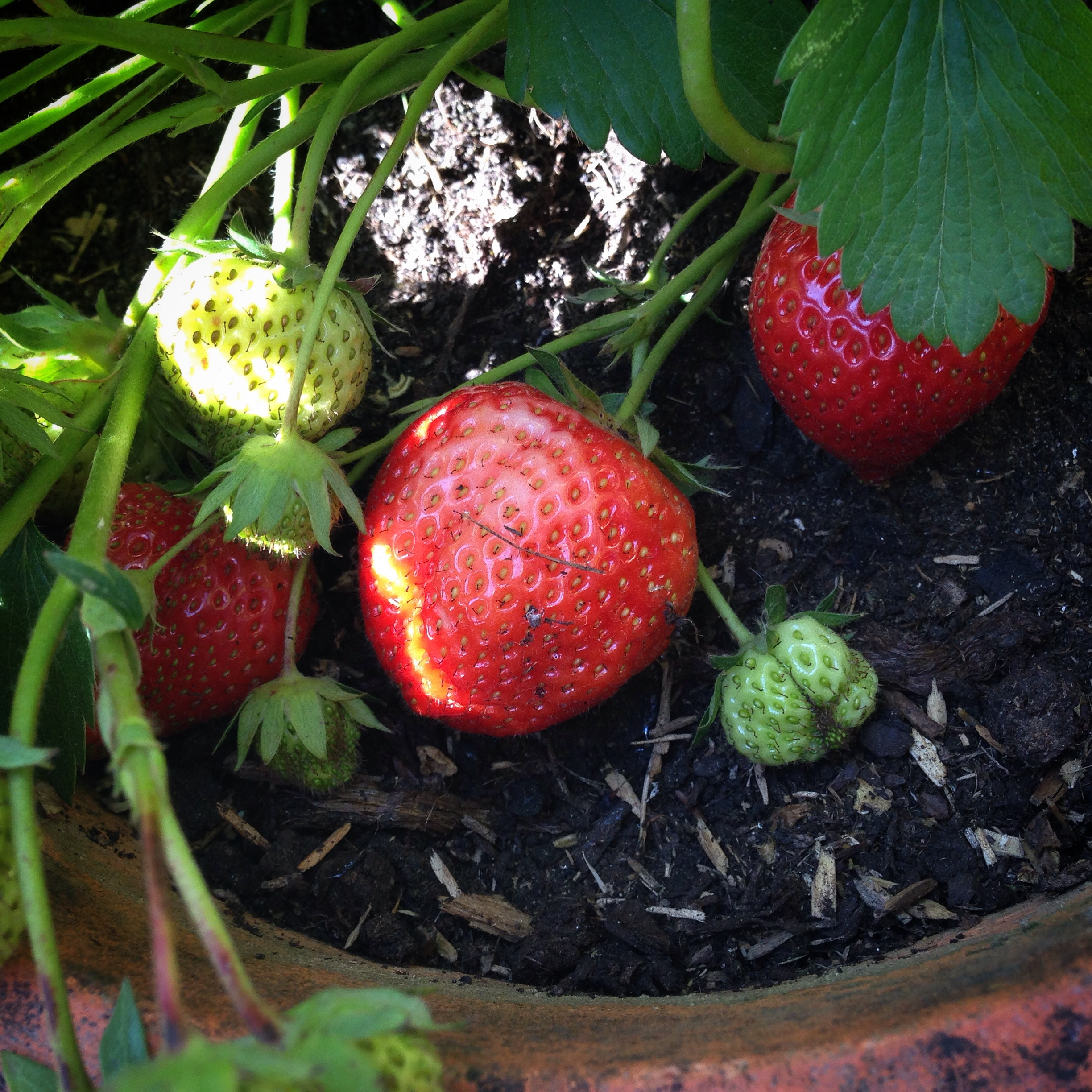 The first strawberries!