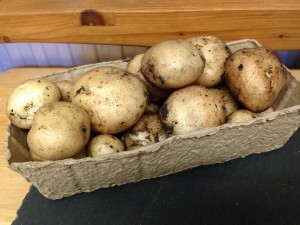allotment potatoes