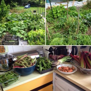 allotment harvest