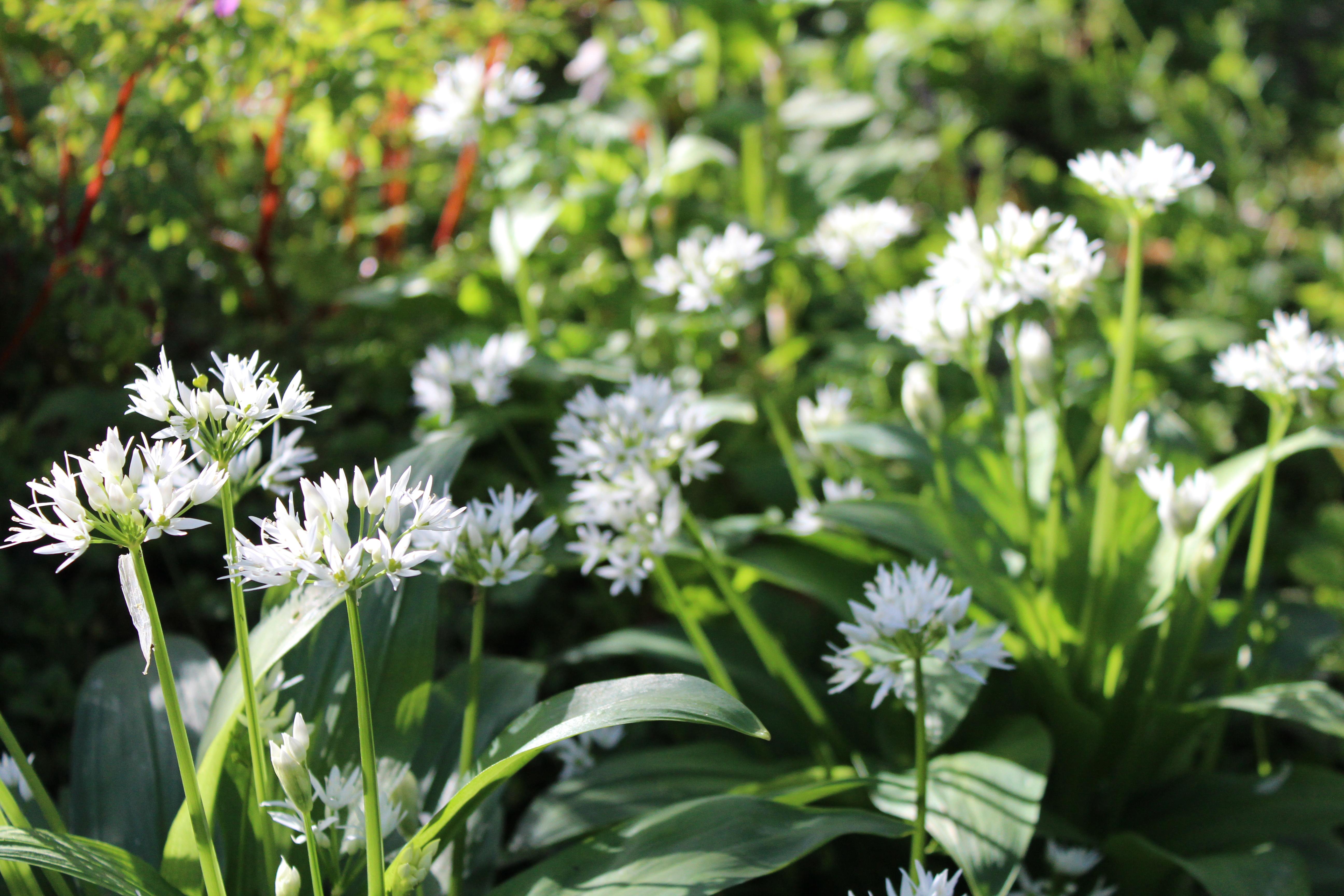 Wild garlic abounds!